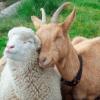 Ovejas y cabras