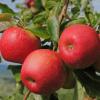 Hojas y frutas